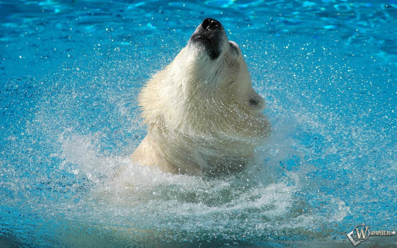 Медведь в воде 1680x1050