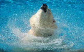 Обои Медведь в воде: Вода, Брызги, Медведь, Медведи