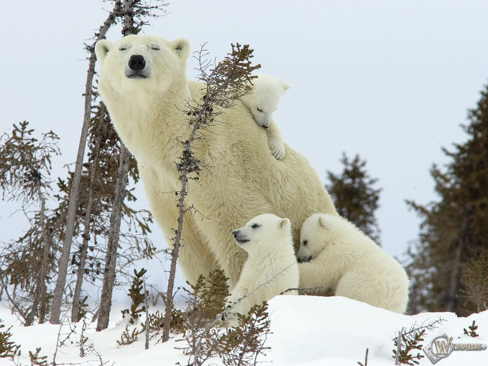 Белая медведица с медвежатами 1600x1200