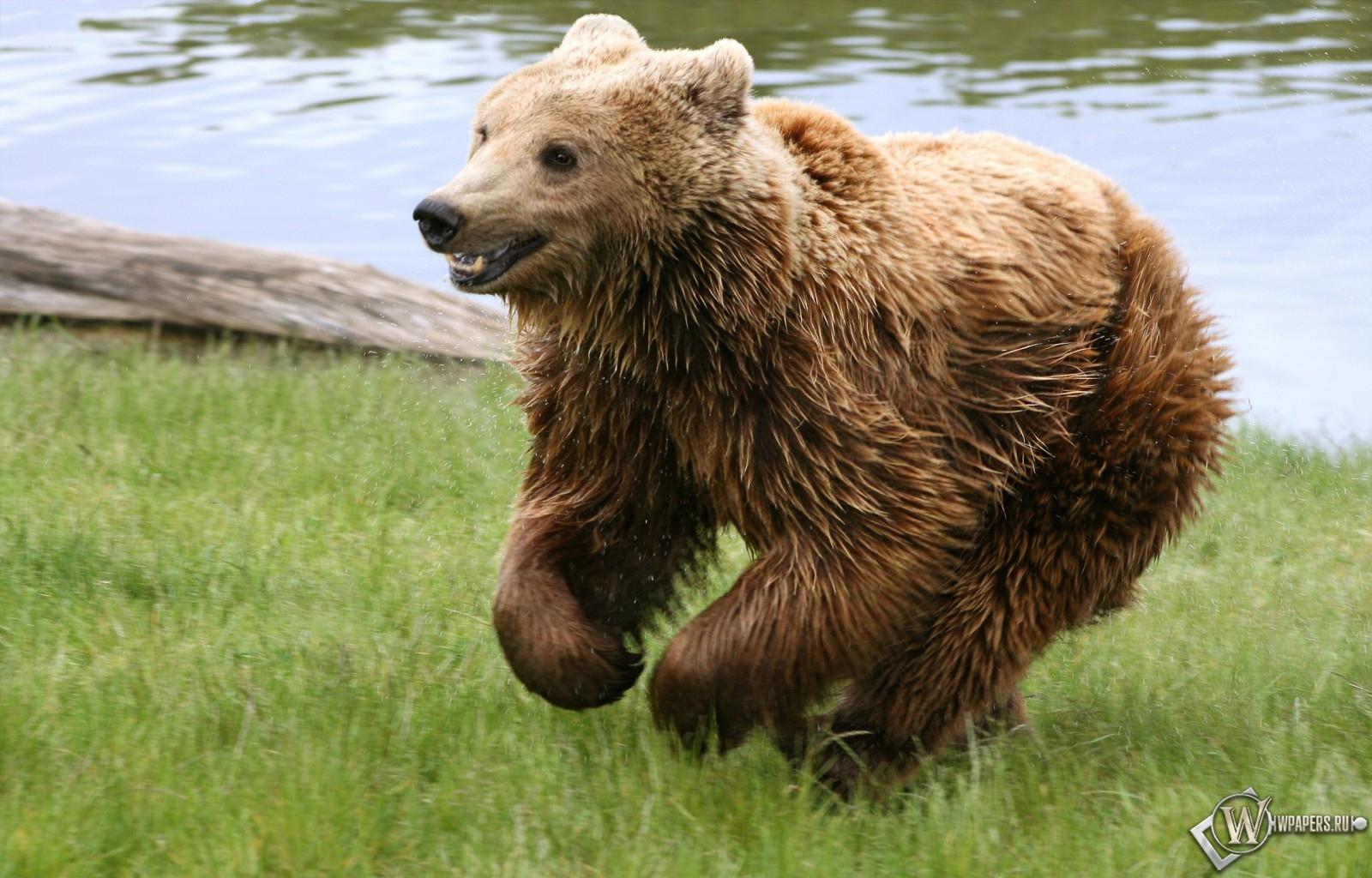 Медведь играет на траве 1600x1024