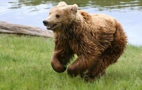 Обои Медведь играет на траве: Река, Трава, Медведь, Медведи