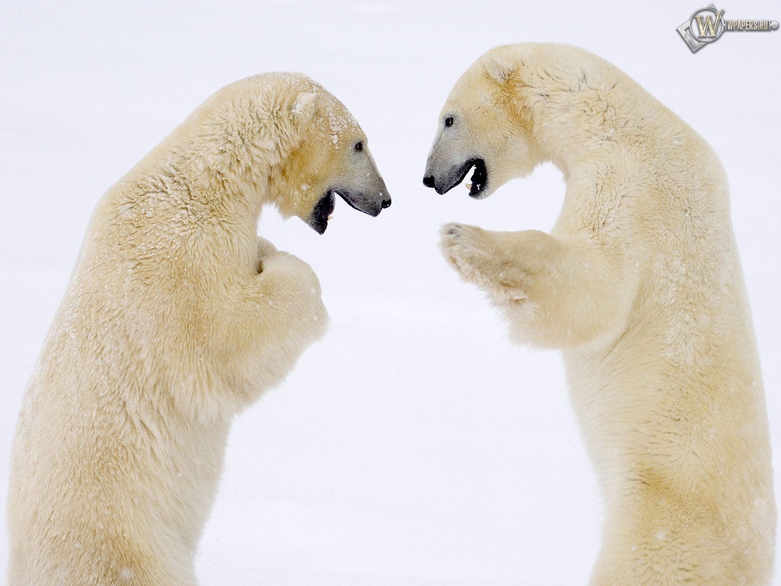 Белые медведи дерутся 1600x1200
