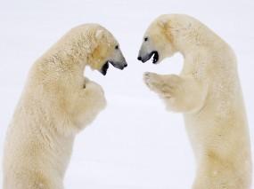 Белые медведи дерутся