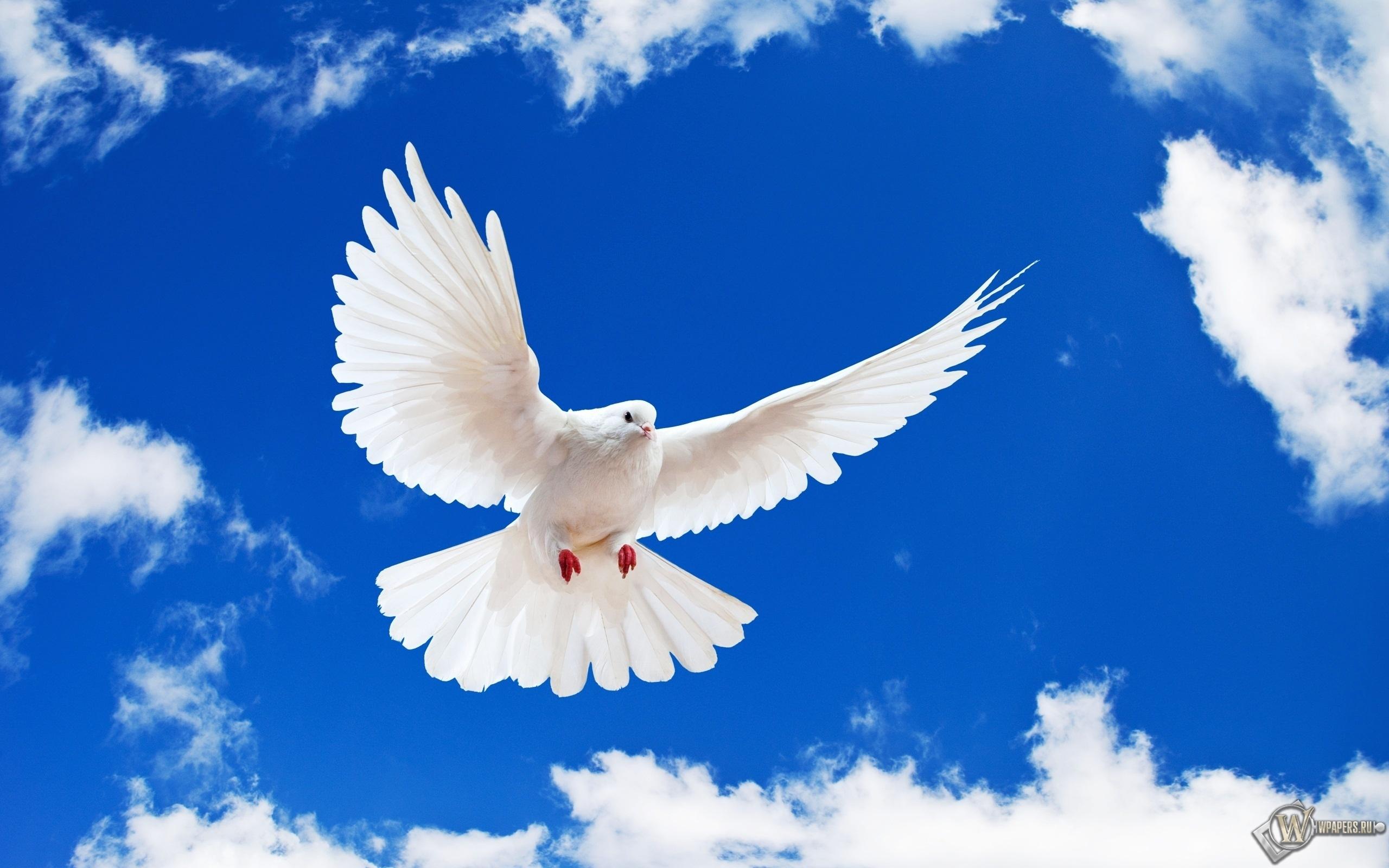 Летящий белый голубь 2560x1600