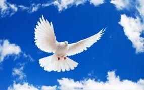 Обои Летящий белый голубь: Небо, Белый, Голубь, Птицы