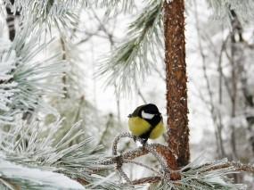 Обои Синичка на заснеженной ели: Зима, Снег, Лес, Иней, синичка, Птицы
