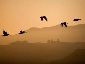 Обои Птицы в полёте: Полёт, Птица, Небо, Птицы