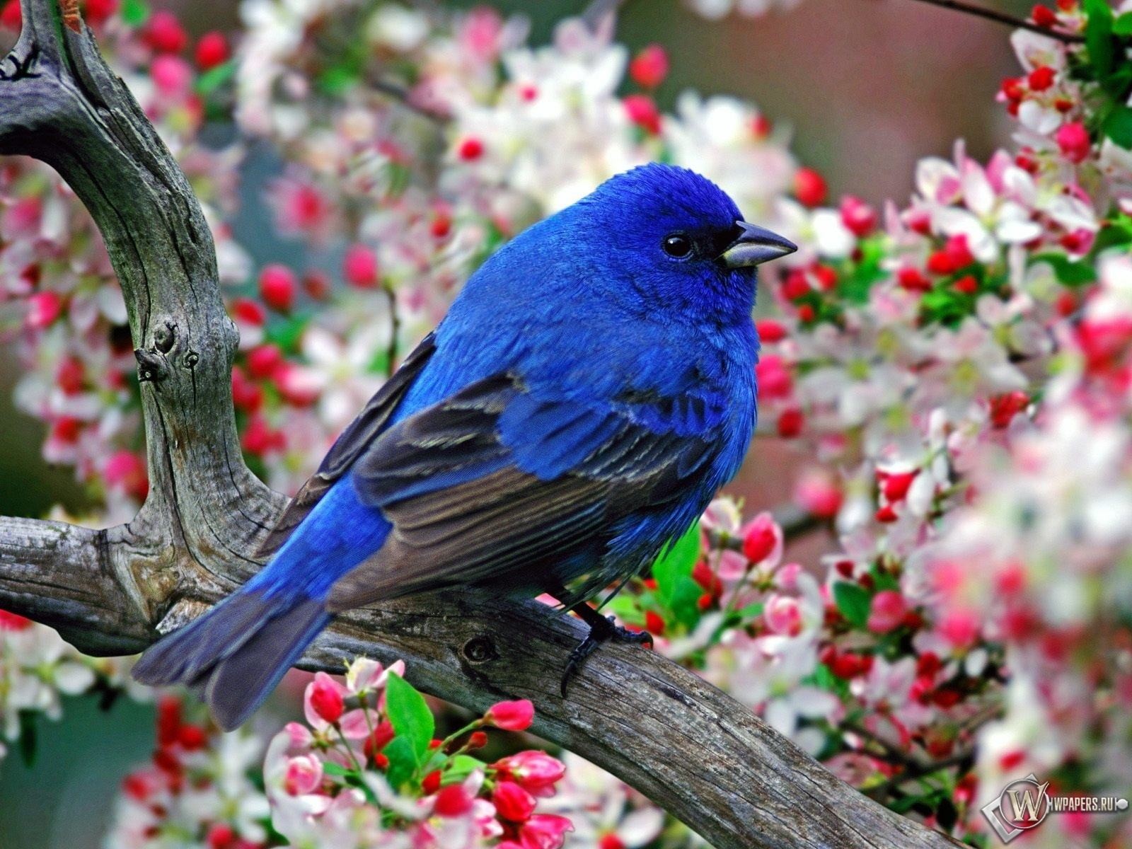 Синяя птица 1600x1200
