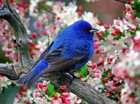 Обои Синяя птица: Птица, Синий, Цветы, Птицы