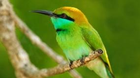 Обои Карликовая щурка: Птица, Ветка, Листья, оперение, Птицы