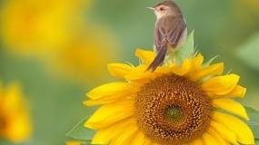 Обои Камышовка на подсолнухе: Птица, Подсолнух, Птицы