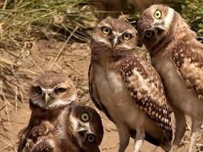 Обои Совиная семья: Семья, Совы, Птицы