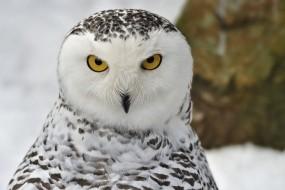 Обои Взгляд совы: Взгляд, Сова, Птицы