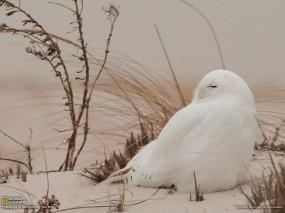 Обои птица похожа на куропатку: Трава, Птица, белая, Птицы