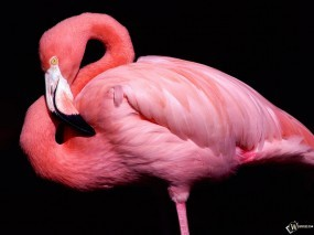 Обои Розовый фламинго: , Птицы