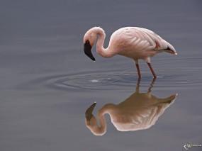 Обои Фламинго: Фламинго, Птицы