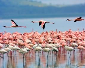 Обои Стая фламинго в Кении: Кения, Фламинго, Стая, Птицы, Птицы