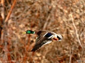Обои Селезень в полете: , Птицы