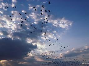 Обои Стая птиц: , Птицы