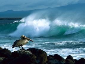 Обои Пеликан: Пеликан, Галапагосские острова, Птицы