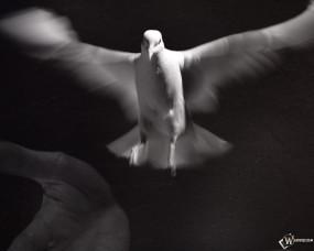 Обои Белый голубь: , Птицы