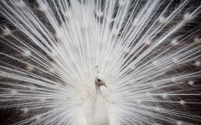 Обои Белый павлин: Перья, Белый, Павлин, Птицы