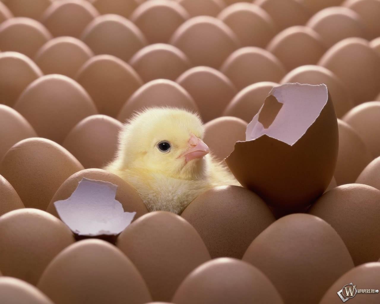 Цыплёнок из яйца 1280x1024