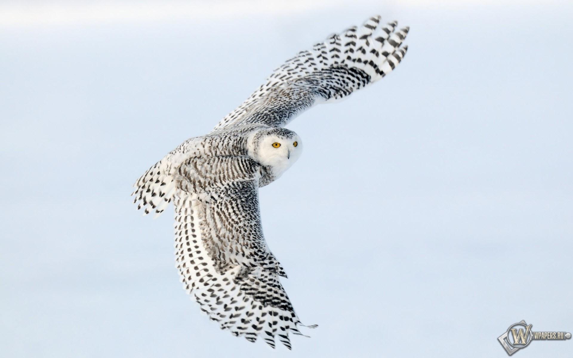 Снежная сова в полете 1920x1200