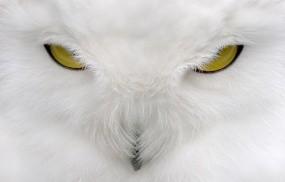 Обои Белая сова: Взгляд, Белый, Сова, Птицы