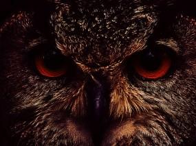 Обои Морда совы: Глаза, Морда, Сова, Птицы