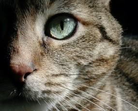 Обои Кошкин глаз: Глаз, Морда, Кошка, Кошки