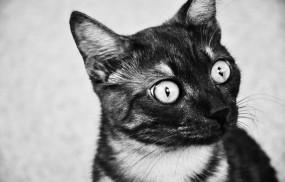 Обои удивленный котик: Глаза, Взгляд, Кот, Удивление, Кошки