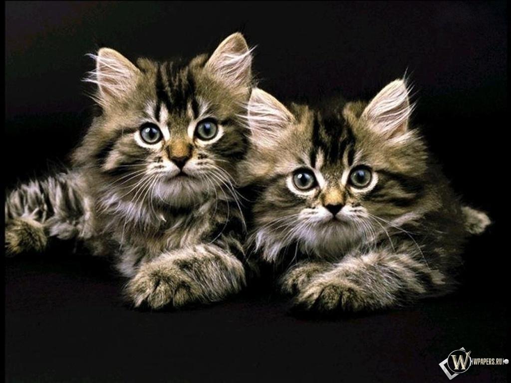 Два котенка 1024x768