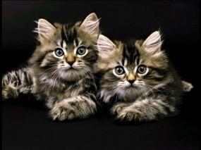 Обои Два котенка: Котята, Чёрный фон, Кошки