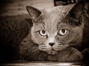 Обои кот: Кот, Черно-белое, Кошки