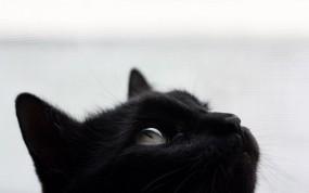 Обои Черный кот: Морда, Чёрный кот, Кошки