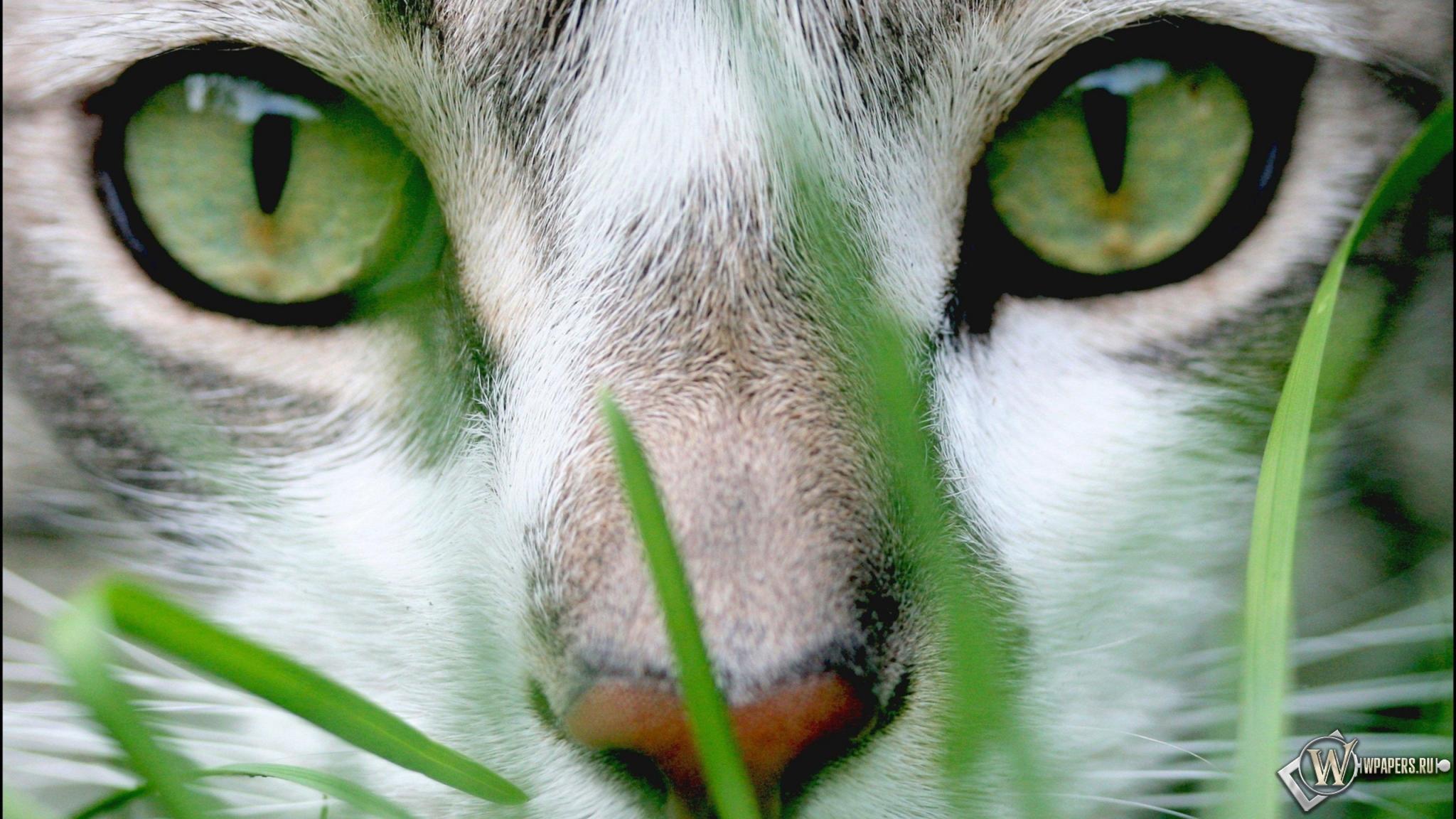 Download Wallpapers Download 2790x2547 Animals Grass: Скачать обои Cat Grass (Взгляд, Кот) для рабочего стола