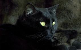 Обои Кошка: Кошка, Чёрная кошка, Животное, Кошки