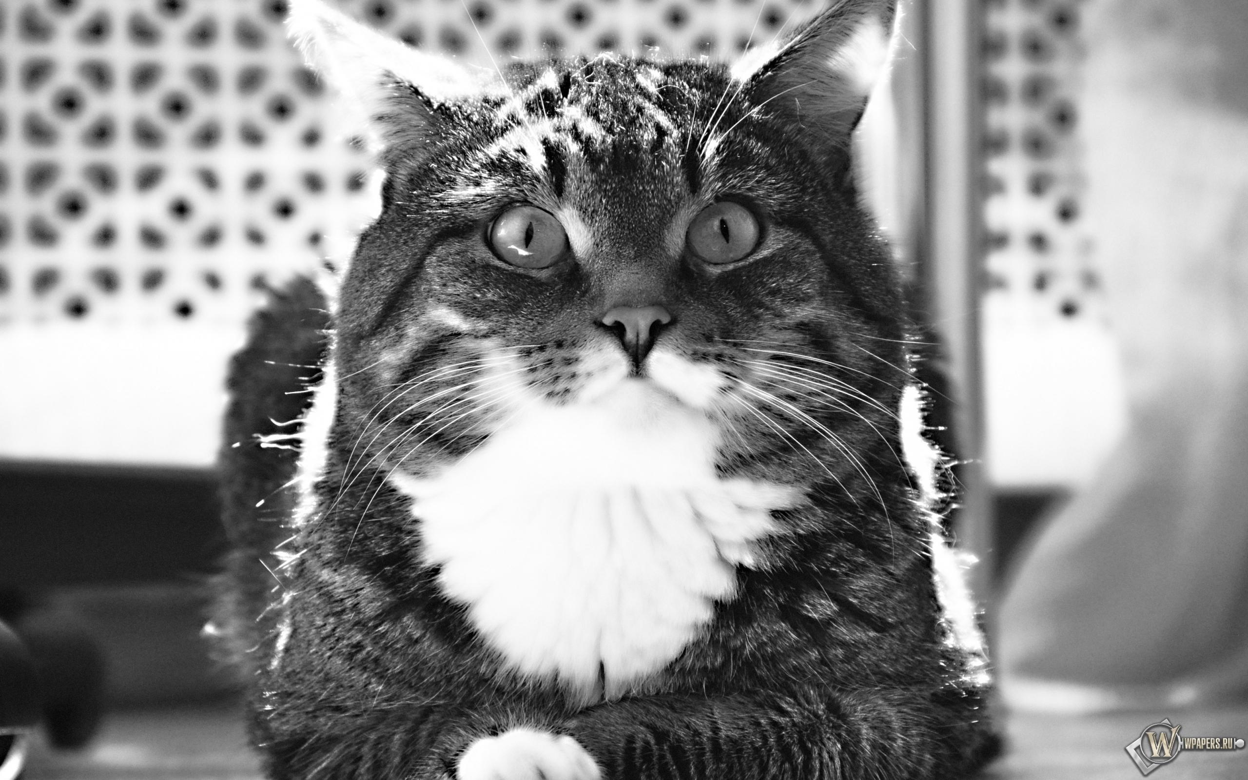 Полосатый котик 2560x1600