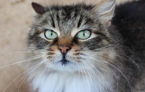 Обои Кошка: Взгляд, Морда, Кошка, Кошки