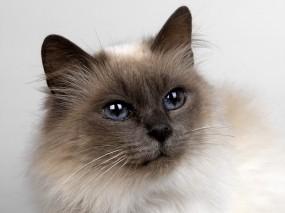 Обои Кошачий взгляд: Глаза, Взгляд, Кот, Кошки