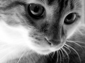 Обои Кошачья мордочка: Глаза, Усы, Кошка, Мордашка, Черно-белый, Нос, Кошки