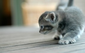 Обои Крадущийся котёнок: Серый, Котёнок, Кошки