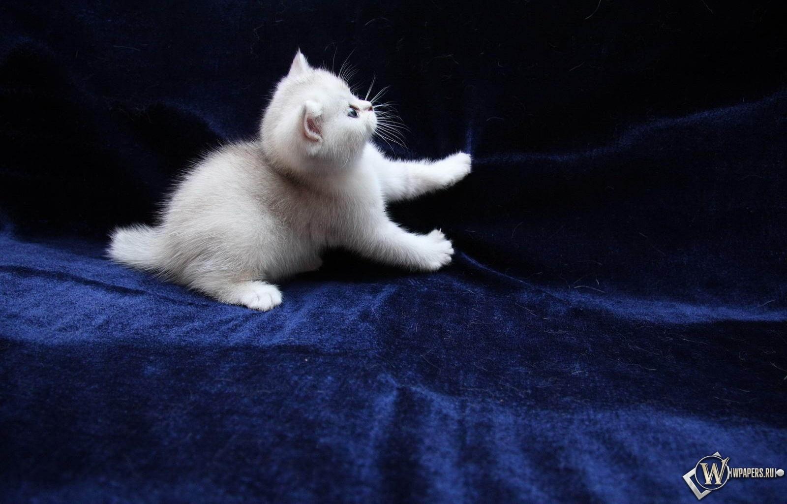 Котёнок играет 1600x1024