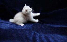 Обои Котёнок играет: Кот, Кошка, Котёнок, Кошки