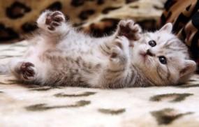 Обои Котёнок: Кот, Кошка, Котёнок, Кошки