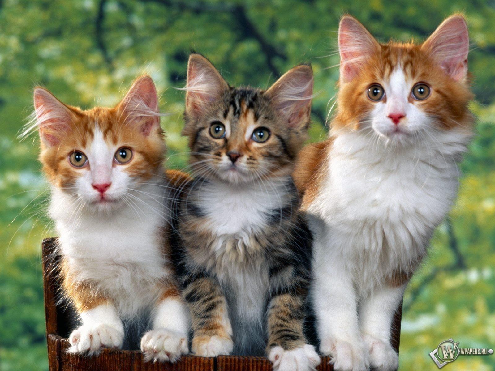 Троица котят 1600x1200
