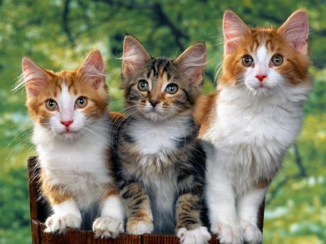 Троица котят
