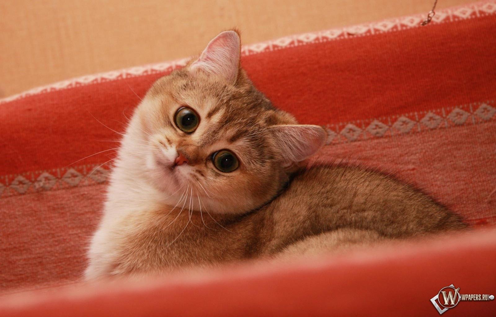 Красивый кот 1600x1024