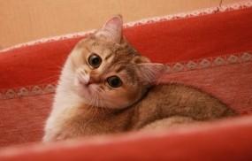 Обои Красивый кот: Кот, Кошка, Кошки
